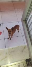 Cachorro Pinche