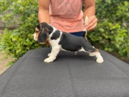 Beagle 100% Puro
