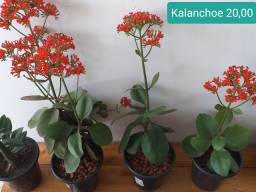Kalanchoe vermelha