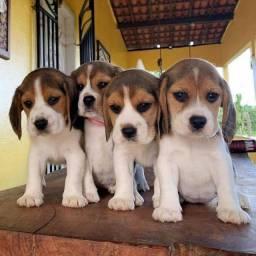 Título do anúncio: Fofos filhotes Beagle por encomenda e a pronta entrega machinho e fêmea !!!