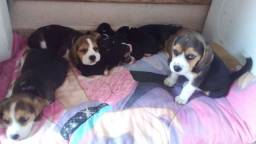 Título do anúncio: Vende_ se filhotes da raça Beagle