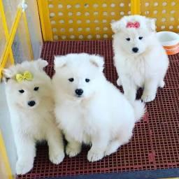 Título do anúncio: Samoieda lindos filhotes