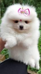Título do anúncio: Lulu da Pomerania/ valor 5.500,00/ Fêmea Branca