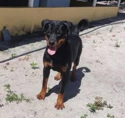 Título do anúncio: Filhote de Rottweiler com 8 meses