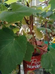 Título do anúncio: Mudas de uva