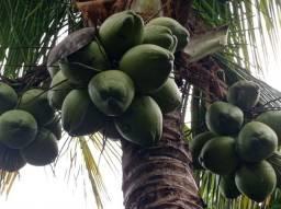 Título do anúncio: Vendo Coco verde