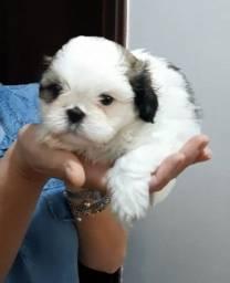Machos Shih Tzus Com opção de pedigree nascidos 02 de fevereiro