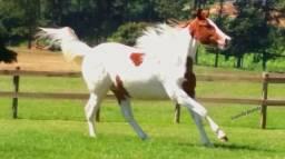 Égua Paint Horse PO