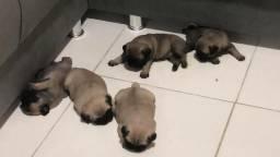 Filhotes de Pug disponíveis!!