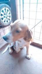 Beagle fêmea com 10 meses