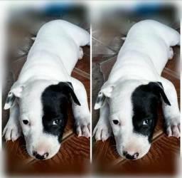 Vendo cachorro Bull terrier misturada com Pitbull ?