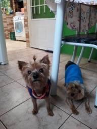 Yorkshire Terrier da Vanessa