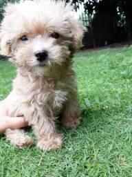 Poodle toy macho