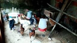 """Vendo galinha e galo caipira """"LEIA!"""