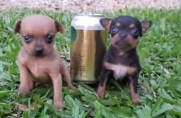Filhotes de Chihuahua, machos, 1 mês