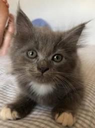 Gatinhos Persa filhote