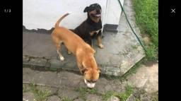 Cães para adoção urgente.