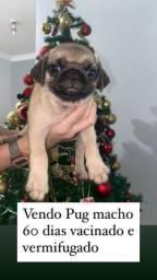 Vendo Pug macho