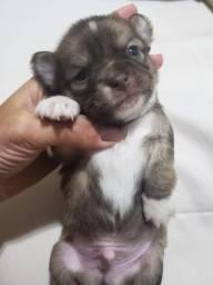 Filhote de Chihuahua Pelo Longo MACHO