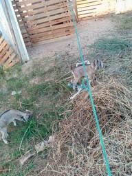 Vendo lote de cabras