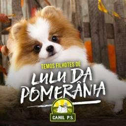 Título do anúncio: Filhotes de lulu da Pomerania de alta genética