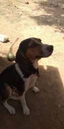 vendo cachorro da raça Beangle