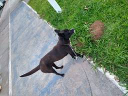 Título do anúncio: Doa-se cadela Dócil, Desverminada, Sem Pulgas e Carrapatos NexGard