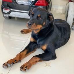 Rottweiler disponível para cobertura