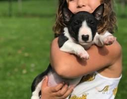 Título do anúncio: Filhotes perfeitos de Bull Terrier