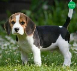 Beagle fêmea e macho