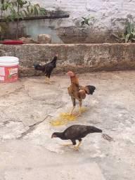 Título do anúncio: Dois frangos e duas frangas