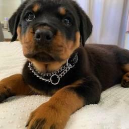 Título do anúncio: Perfeitos filhotes de Rottweiler