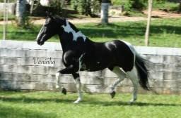 Título do anúncio: Cobertura Cavalo Homozigoto
