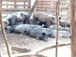 Tenho  porco pra vender