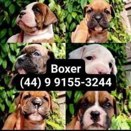 Título do anúncio: Filhotes de Boxer