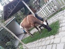 Vaca leiteira e bezerro