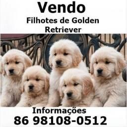 Filhotes de Golden Retriever P.O