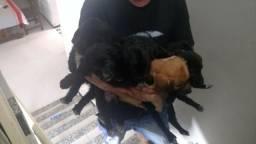 Doa-se mestiços de Labrador