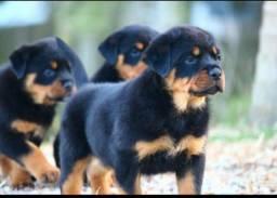 Rottweiler filhotes com pedigree