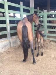 Égua com registro (cavalo, poltra, poltro, pordo, porda)