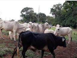 Vacas Nelore só venda