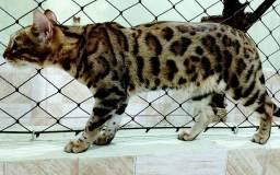 Gato Bengal (Mine Leopardo)