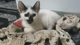 Doação de gatinho (faz as necessidades na areia)