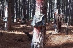 Pinus Eliot