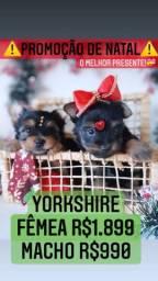 Super promoção imperdível de natal! Yorkshire Macho R$990