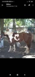 Cavalo Paint  quarta de milha puro cavalo grande forte  vendo cobertura também