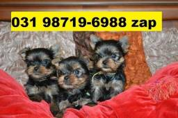 Canil Premium Filhotes Cães BH Yorkshire Basset Shihtzu Beagle Lhasa Maltês