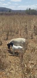 Vende ovelha com borrego macho valor 1100