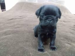 Título do anúncio: Filhote de Pug  macho cor Black  pronta entrega