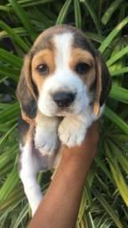 Título do anúncio: Beagle Filhote 13 Polegadas com pedigree microchip garantia
